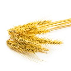grain ears isolated on white- Stock Photo or Stock Video of rcfotostock | RC-Photo-Stock