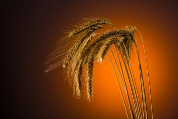Grain in summer- Stock Photo or Stock Video of rcfotostock | RC-Photo-Stock