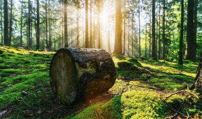 Green beech forest with bright beautiful sun beams, framed by foreground foliage and a fallen tree trunk- Stock Photo or Stock Video of rcfotostock   RC-Photo-Stock