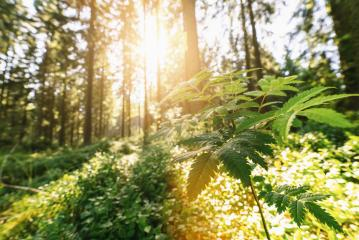 Green beech forest with bright beautiful sun beams, framed by foreground foliage and fern leafs- Stock Photo or Stock Video of rcfotostock | RC-Photo-Stock