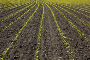 Green corn maize plants on a field. Agricultural landscape- Stock Photo or Stock Video of rcfotostock | RC-Photo-Stock