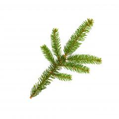 green fir tree branch on the white- Stock Photo or Stock Video of rcfotostock | RC-Photo-Stock