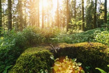 Green forest scenery with the sun casting beautiful rays through the foliage, mossy lumber in the foreground- Stock Photo or Stock Video of rcfotostock | RC-Photo-Stock