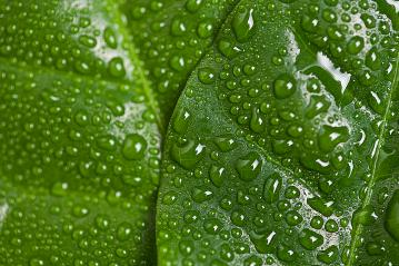 Green leaf with water drops : Stock Photo or Stock Video Download rcfotostock photos, images and assets rcfotostock | RC-Photo-Stock.:
