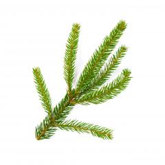 Green lush spruce branch. Fir branches on white background- Stock Photo or Stock Video of rcfotostock | RC-Photo-Stock