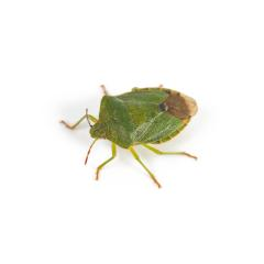 Green shield bug on a white background : Stock Photo or Stock Video Download rcfotostock photos, images and assets rcfotostock | RC-Photo-Stock.: