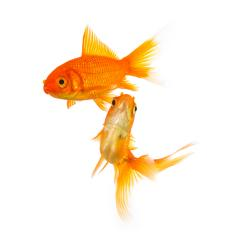 group of two goldfishes- Stock Photo or Stock Video of rcfotostock | RC-Photo-Stock