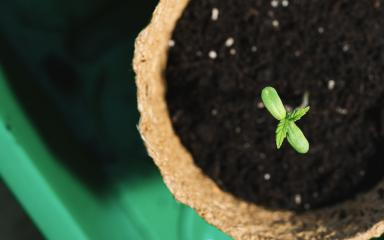growing cannabis sprouts in a pot, Indoor marijuana growing concept image : Stock Photo or Stock Video Download rcfotostock photos, images and assets rcfotostock | RC-Photo-Stock.: