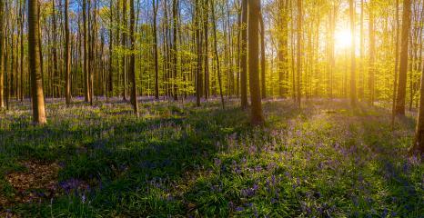 Hallerbos, beech forest in Halle. Natural carpet full of blue bells flowers panorama- Stock Photo or Stock Video of rcfotostock | RC-Photo-Stock