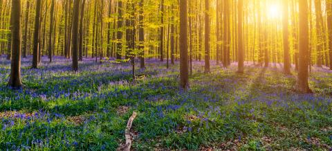 Hallerbos Forest : Stock Photo or Stock Video Download rcfotostock photos, images and assets rcfotostock | RC-Photo-Stock.: