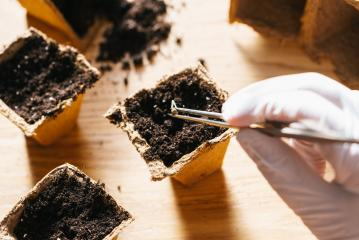 hand with gloves putting cannabis seed with tweezers in a pot, medical marijuana growing- Stock Photo or Stock Video of rcfotostock | RC-Photo-Stock