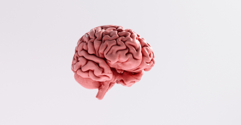 Human brain Anatomical Model : Stock Photo or Stock Video Download rcfotostock photos, images and assets rcfotostock | RC-Photo-Stock.: