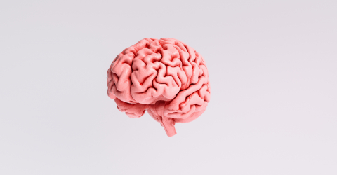 Human brain Anatomical Model- Stock Photo or Stock Video of rcfotostock | RC-Photo-Stock