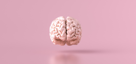 Human brain Anatomical Model, front view- Stock Photo or Stock Video of rcfotostock | RC-Photo-Stock
