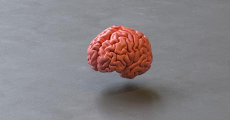 Human brain Anatomical Model on a floor ground- Stock Photo or Stock Video of rcfotostock   RC-Photo-Stock