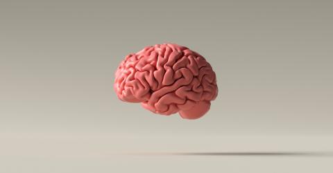 Human brain Anatomical Model on floor- Stock Photo or Stock Video of rcfotostock | RC-Photo-Stock