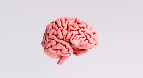 Human brain Anatomical Model, side view : Stock Photo or Stock Video Download rcfotostock photos, images and assets rcfotostock | RC-Photo-Stock.: