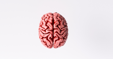 Human brain Anatomical Model, top view- Stock Photo or Stock Video of rcfotostock | RC-Photo-Stock