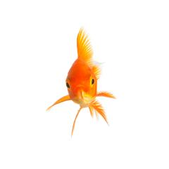 isolated goldfish : Stock Photo or Stock Video Download rcfotostock photos, images and assets rcfotostock | RC-Photo-Stock.: