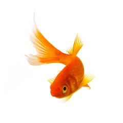 koi goldfish : Stock Photo or Stock Video Download rcfotostock photos, images and assets rcfotostock | RC-Photo-Stock.: