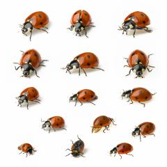 Ladybug Beetle set collection with black points on white background : Stock Photo or Stock Video Download rcfotostock photos, images and assets rcfotostock | RC-Photo-Stock.: