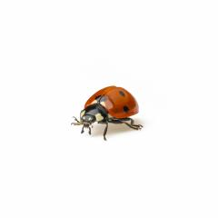 Ladybug Beetle with black points on white background. : Stock Photo or Stock Video Download rcfotostock photos, images and assets rcfotostock | RC-Photo-Stock.: