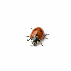 Ladybug Beetle with black points on white background.- Stock Photo or Stock Video of rcfotostock | RC-Photo-Stock