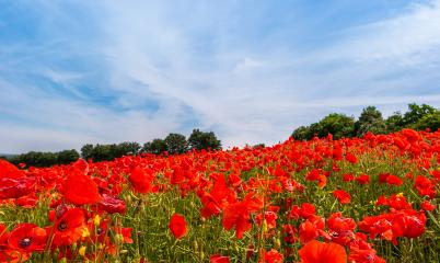 Landscape with a poppy field and blue sky : Stock Photo or Stock Video Download rcfotostock photos, images and assets rcfotostock | RC-Photo-Stock.: