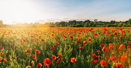 Landscape with nice sunset over poppy field panorama- Stock Photo or Stock Video of rcfotostock | RC-Photo-Stock