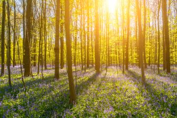 late evening sun beams through a clump of beech trees with bluebells- Stock Photo or Stock Video of rcfotostock | RC-Photo-Stock