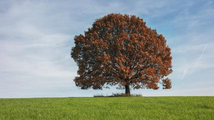 lonely red autumn tree on field - Stock Photo or Stock Video of rcfotostock | RC-Photo-Stock