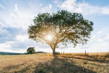 Lonely tree against a blue sky at sunset. summer landscape with a lone tree at sunset barley field in the village : Stock Photo or Stock Video Download rcfotostock photos, images and assets rcfotostock | RC-Photo-Stock.: