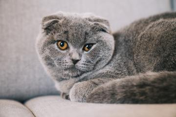 Lovable young kitten lying on a couch. The Scottish Fold Shorthair with blue gray fur.- Stock Photo or Stock Video of rcfotostock | RC-Photo-Stock