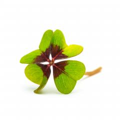 Lucky Clover on white : Stock Photo or Stock Video Download rcfotostock photos, images and assets rcfotostock | RC-Photo-Stock.: