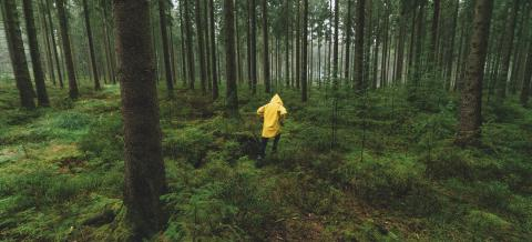 man with yellow rain jacket run in to the dark pine tree forest - Stock Photo or Stock Video of rcfotostock | RC-Photo-Stock
