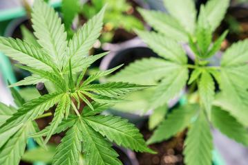 marijuana vegetation plants, Growing cannabis indica, hemp CBD, cultivation cannabis, marijuana leaves ,background top view- Stock Photo or Stock Video of rcfotostock | RC-Photo-Stock