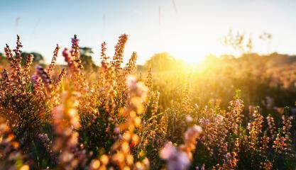 Natural background with small pink-lilac Heather flowers or Calluna vulgaris flowers at sunset. Soft focus.- Stock Photo or Stock Video of rcfotostock | RC-Photo-Stock