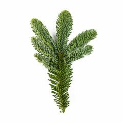 Nobilis fir branch isolated on white- Stock Photo or Stock Video of rcfotostock | RC-Photo-Stock