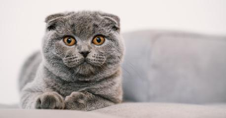 Noble proud cat lying on a couch. The Scottish Fold Shorthair with blue gray fur, with copyspace for your individual text.- Stock Photo or Stock Video of rcfotostock | RC-Photo-Stock