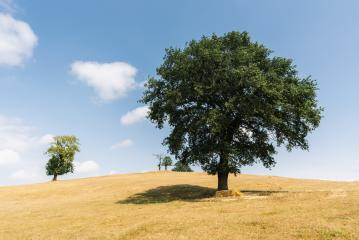 oak tree in a summer landscape- Stock Photo or Stock Video of rcfotostock | RC-Photo-Stock