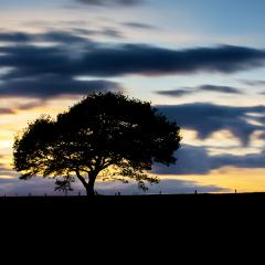 oak tree on a dandelion meadow hill with colorfull  sunset  and cloudy Sky in spring- Stock Photo or Stock Video of rcfotostock | RC-Photo-Stock