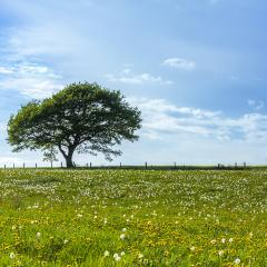 oak tree on a hill with dandelion meadow and Blue Sky at spring in the Eifel : Stock Photo or Stock Video Download rcfotostock photos, images and assets rcfotostock | RC-Photo-Stock.: