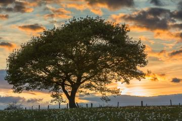 oak tree on meadow at orange sunset blue hour with cloudy Sky- Stock Photo or Stock Video of rcfotostock | RC-Photo-Stock