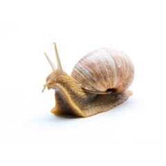 old garden snail : Stock Photo or Stock Video Download rcfotostock photos, images and assets rcfotostock | RC-Photo-Stock.: