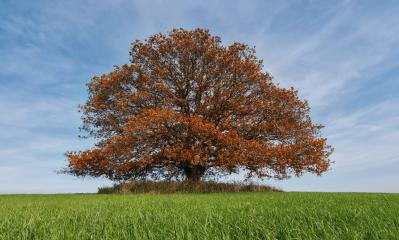 old oak tree at autumn alone on a field at with blue cloudy sky : Stock Photo or Stock Video Download rcfotostock photos, images and assets rcfotostock | RC-Photo-Stock.: