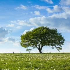 Old oak tree on a hill  with dandelion meadow with Blue cloudy Sky at summer in the Eifel germany : Stock Photo or Stock Video Download rcfotostock photos, images and assets rcfotostock | RC-Photo-Stock.: