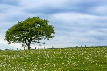 old oak tree on a hill with dandelion meadow and Blue Sky at spring in the Eifel natonal park- Stock Photo or Stock Video of rcfotostock | RC-Photo-Stock