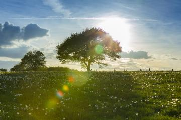 old oak tree on a hill with dandelion meadow on sunset and Blue Sky at spring in the Eifel natonal park : Stock Photo or Stock Video Download rcfotostock photos, images and assets rcfotostock | RC-Photo-Stock.:
