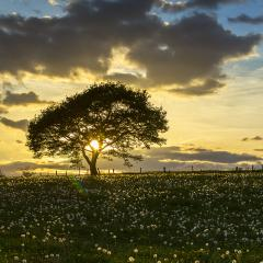 Old oak tree on dandelion meadow on sunset with cloudy Sky in spring- Stock Photo or Stock Video of rcfotostock | RC-Photo-Stock