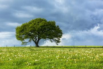 Old oak tree on dandelion meadow with Blue cloudy Sky at spring in the Eifel germany : Stock Photo or Stock Video Download rcfotostock photos, images and assets rcfotostock | RC-Photo-Stock.: